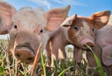 Epona voor varkens